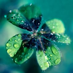four leaf clover - The four leaves represent faith, hope, love and luck.