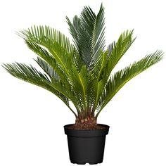 8 szobanövény, ami a legsötétebb sarokban is él ÉS xerox virul Cactus Plants, Garden Landscaping, Planting Flowers, Fall Decor, Orchids, Palm, Japan, Landscape, Decor Ideas
