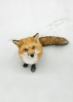 fox! :) so cute