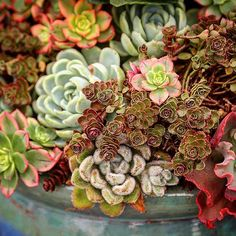 I love an overflowing bowl, don't you? Mainly echeverias and Sedum 'Dragon's Blood'. #debraleebaldwin #succulentchic #succulentlove #succulents #succulentcontainer #echeveria #dishgarden #gardening #designingwithsucculents