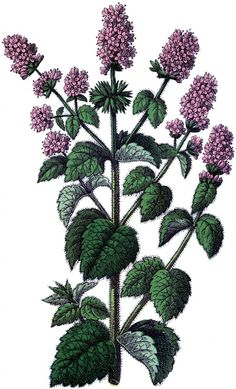 Free Vintage Mint Image - Herbs - The Graphics Fairy