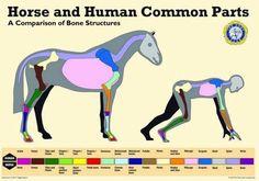 #horseanatomy