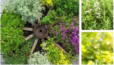 How to create the most amazing DIY thyme pot collection for your yard or garden Garden Deco, Herb Garden, Garden Pots, Variegated Plants, Potting Soil, Gardening Tips, Herbs, Backyard, Create