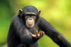 View top-quality stock photos of Chimpanzee. Find premium, high-resolution stock photography at Getty Images. Funny Photos, Funny Images, King Kong, Cute Little Animals, Animal Photography, Animal Kingdom, Animals Beautiful, Funny Animals, Wildlife