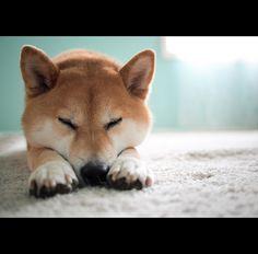 Good Night -- sleepy shiba