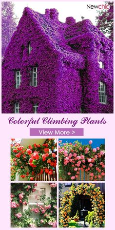 Egrow Perfume Climbing Plants Colorful Rock Cress Flower Seeds is fashionable and cheap, come to NewChic to see more trendy Egrow Perfume Climbing Plants Colorful Rock Cress Flower Seeds online. Outdoor Gardens, Container Gardening, Beautiful Gardens, Climbing Plants, Flower Seeds Online, Flower Garden Design, Garden Design, Plants, Planting Flowers