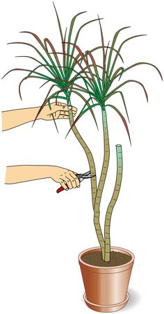 Drachenbaum abschneiden: Das müssen Sie beachten If you want to cut a houseplant like the dragon tree or shorten the trunk, there are some points to consider. We reveal what is important in the cut. Indoor Garden, Garden Plants, Indoor Plants, Garden Care, Como Plantar Banana, Ficus, Hanging Plants, Plant Care, Plant Decor