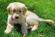 Golden Retriever, Goldendoodle and Mini Goldendoodle Puppies for sale  - USA! We make it easy for you to find the perfect puppy for your family. We are breeders but we continuously work with other breeders to meet our high levels of care for your future pet and also make sure we always have a puppy available for a family in need and looking.   We receive new arrivals on a regular basis and will work with you to make sure your puppy is healthy http://www.millersgoldenretrievers.com/