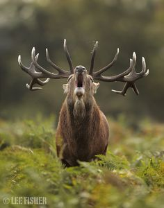 Stag cry by Lee Fisher
