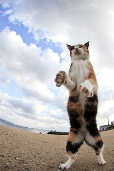 More cats than people live on cat island Aoshima in Japan. Click here to see the photo series of this cat island http://www.traveling-cats.com/2015/06/cats-from-aoshima-japan.html (cats, cat island, Aoshima, cat standing on hind legs, cat standing up, dancing cat, lapjeskat, calico cat, tortoiseshell cat)