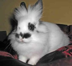 Brown and white lionhead rabbit - photo#33