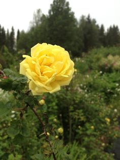 Takalo-Roppolan puutarha- ja mansikkatila: RUUSUT- rose Aurora
