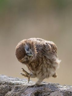This owl could be the next star on the walking dead or is it dancing a jig.  He could be bowing, sleep walking or maybe had a little bit much to drink?