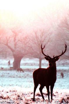 Voilà l'hivers et ses magnifiques images :: un cerf dans la lumière du soleil d'hivers