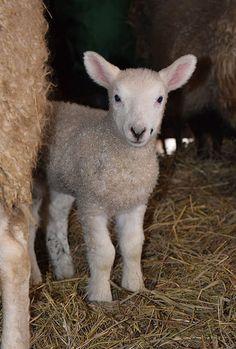 Lambs 2017