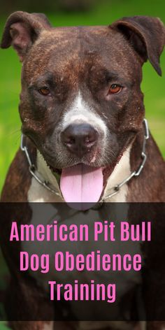 American Pit Bull Terrier Dog For Adoption In Newport Ky Adn