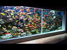 P1020007 - YouTube Tropical Fish Aquarium, Tropical Fish Tanks, Freshwater Aquarium Fish, Aquarium Fish Tank, Fish Tank Wall, Aquarium Sump, Cichlid Aquarium, Fish Tank Themes, Fish Tank Design