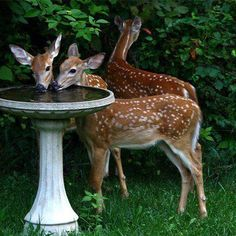 ⓕurry & ⓕeathery ⓕriends - photos of birds, pets & wild animals - fawns enjoying a little drink in the garden Bambi, Animals And Pets, Baby Animals, Cute Animals, Wild Animals, Amazing Animals, Animals Beautiful, Tier Fotos, All Gods Creatures