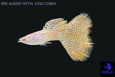 B88 ALBINO METAL KING COBRA [Engine by iGetWeb.com]