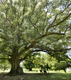 """""""Shirley's Willow Oak"""" (Shirley Plantation in Charles City County) by Sue Williams (featured in the Richmond Times-Dispatch on January 11, 2015). Fun Fact: This is a 2014 Virginia Vistas Photo Contest Honorable Mention winner in our special Route 5 Corridor Category. ENJOY!!"""