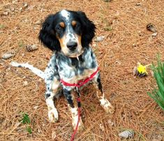 Oliver the English Setter-Beautiful!