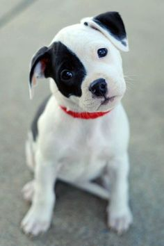 Adorable black and white puppy.