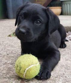 Black Lab Puppies, Cute Dogs And Puppies, Black Puppy, Corgi Puppies, Puppy Husky, Doggies, Mastiff Puppies, Cutest Dogs, Puppies Stuff