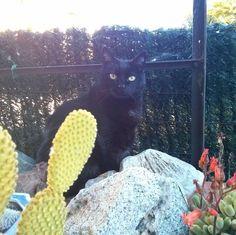 Sora entre piedras y cactus. xD #gatonegro #gato #sora #gatanegra #blackcat #cat #catsofinstagram #lovelycat #gatosdeinstagram #gatosdelmundo #pelusa #pelusanegra #amordegato #catslove #catslover #catstagram #catexperience #gatovago #catoftheday #crazycatlady #caturdays365