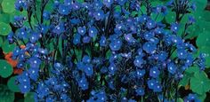 Loddon Royalist Anchusa, part shade/sun, zones 4 - Daffodils, Tulips, Native Foods, Sun Plants, Beneficial Insects, Hardy Perennials, Blue Garden, Allium, Day Lilies