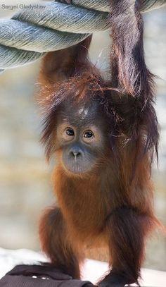 Cute Little Baby Orangutan