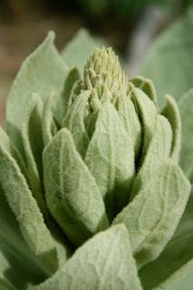 oklahoma tinctoria: The Great Mullein-- how to dye with mullein