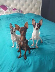 Chihuahuas.💝💝💝💝💝💝💚