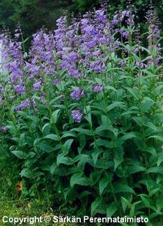 Dracocephalum sibiricum Cottage, Garden, Plants, Garten, Cottages, Gardens, Cabin, Planters, Farmhouse