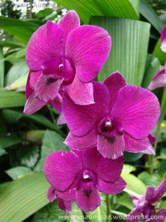 orquideas da mata atlântica - Google Търсене