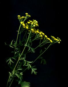 56152.01 Tanacetum vulgare | by horticultural art