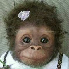 """I keep seeing this as """"Baby monkey"""" or """"Cute baby monkey."""" -- It definitely is cute, but it's a baby monkey DOLL. This is """"Cookie"""" and she's an Amy Ferreira """"Amy's Pipsqueaks"""" Reborn doll. (Slide 2 of 19 at the click-through. Cute Baby Animals, Animals And Pets, Funny Animals, Funny Cats, Animal Babies, Animals Photos, Wild Animals, Funny Drunk, Funny Happy"""