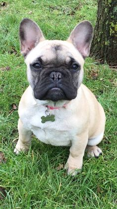 Presumed Stolen!Betty is Missing from Bredhurst, Kent – Delting/Maidstone from the 13th of march. She is really missed! She has a microchip and is a female french bulldog. Please share and get in touch with any info! a large cash reward is offered! You can contact: 01622 604100 with CRN: YY/5500/16or 07799 880163