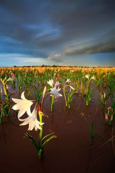 sunset over the Sandhof Lily Pan near Maltahohe in Namibia...lilies that bloom profusely for a short time on a clay plain after 30 cm of rain