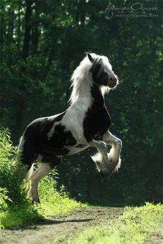 horses Gypsy Vanner /Cobs