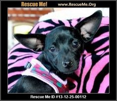 mal ID: 072013-02Cici (female)  Chihuahua Mix  Age: Puppy  Compatibility:Good w/ Most Dogs, Good w/ Most Cats, Good w/ Adults (Not Kids) Personality:Average Energy, Average Temperament Health:Spayed, Vaccinations Current  Hi CiCi here (pronounced 'SeeSee') I am a darling 1 1/2 year old Chi and I weigh 10 pounds. I am having a ball playing with my foster siblings (dogs and cat). I love to crash on my foster mom's lap. I am a puppy so I need someone to spend the time with me to…
