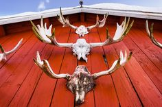 """""""Trophies"""" (119x84cm) Limited edition travel still life colour photograph (C-type) by Tom Hanslien on Artfinder. Skiing in the mountains of Norway a few years ago we were staying on a remote farm for a few days. Spread around on the farm were various evidences of many years of hunting. This wall of trophies was the one that caught my eye the most."""