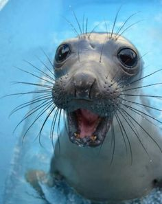 Happiest seal alive.......... Okey the craziest seal alive