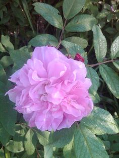 A Hybrid Rugosa Rose 'Therese Bugnet'  - a favorite in the garden.