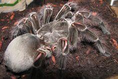 Biggest+Spider+in+the+World | Thread: World's biggest Spider?