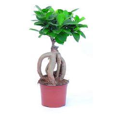 Figovník maloplodý Ženšen priemer kvetináča cca 12cm