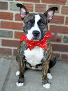 TO BE DESTROYED - 12/03/14 Brooklyn Center BUFFY - A1021133 **SAFER: AVERAGE HOME** FEMALE, BR BRINDLE / WHITE, AM PIT BULL TER MIX, 2 yrs STRAY - STRAY WAIT, NO HOLD Reason STRAY Intake condition EXAM REQ Intake Date 11/19/2014, From NY 10451, DueOut Date 11/22/2014, https://www.facebook.com/photo.php?fbid=911042932241920 https://www.facebook.com/Urgentdeathrowdogs/photos/a.611290788883804.1073741851.152876678058553/911042932241920/?type=3&theater