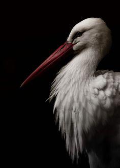 Art… Stork by Michael Woltjen Beautiful Birds, Animals Beautiful, Animals And Pets, Cute Animals, Wale, Tropical Birds, Tier Fotos, Big Bird, Bird Art
