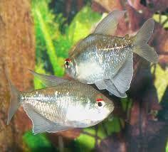 Diamond Tetra Home Aquarium, Tropical Aquarium, Tropical Fish, Tetra Fish, Neon Tetra, Fish List, Life Under The Sea, Cool Fish, Freshwater Aquarium Fish