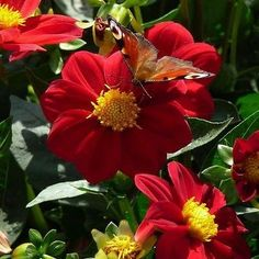 50+ Dahlia Mignon Red Flower Seeds , Under The Sun Seeds