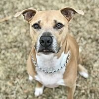 Pictures of Beefy a American Pit Bull Terrier for adoption in Garland, TX who needs a loving home. Cute Dogs And Puppies, All Dogs, Animal Shelter, Animal Rescue, Bull Terrier Puppy, American Pitbull, Animal Projects, Pit Bull, Beautiful Creatures